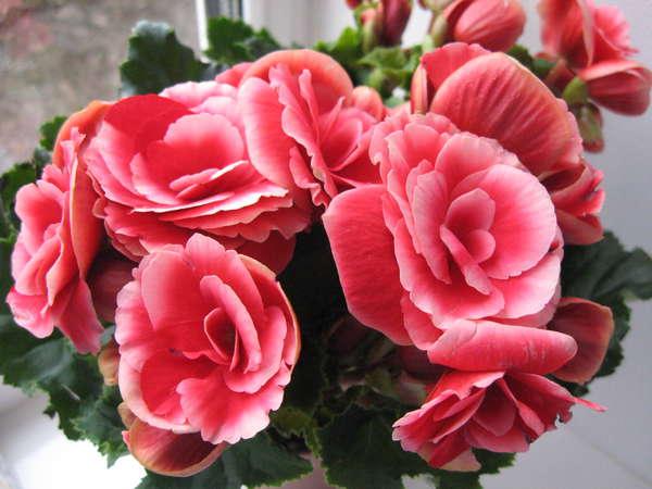 Цветы бегонии элатиор