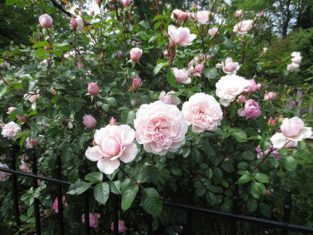Розы Дженероуз Гаден
