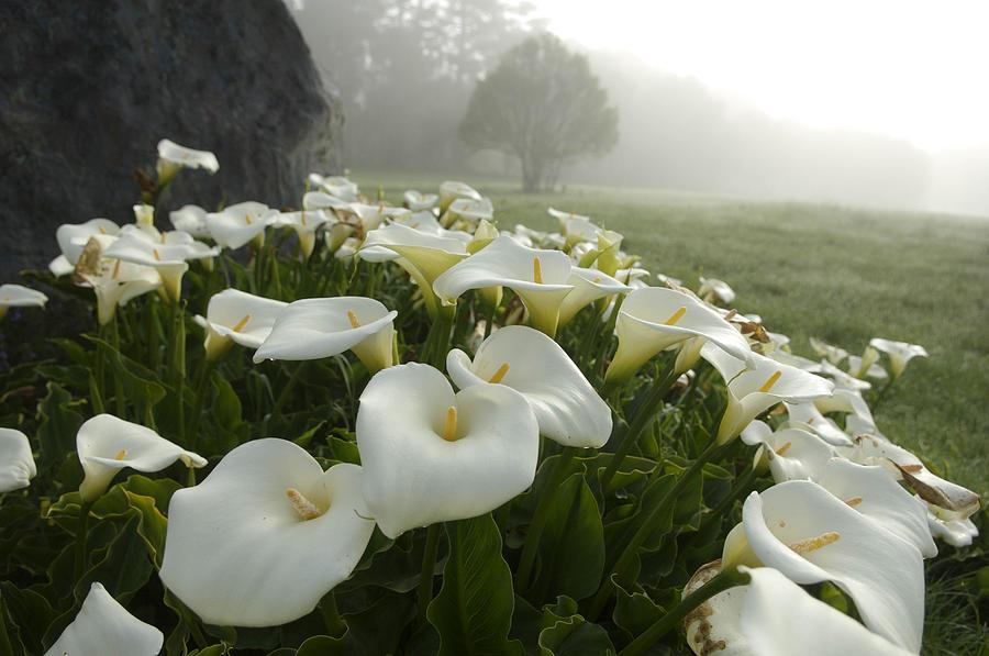 Почему калла называется цветком смерти