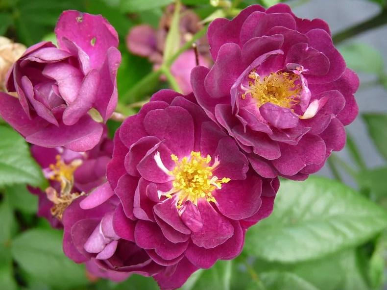 Сиреневая роза Perennial Blue